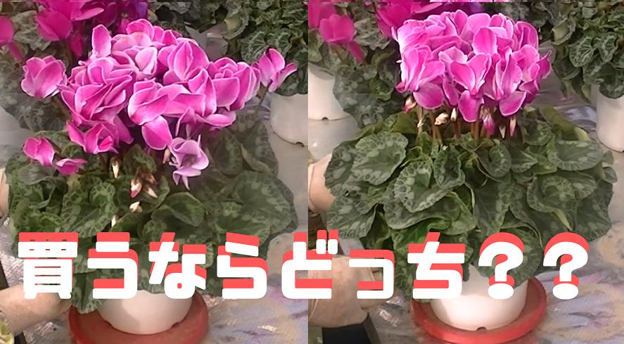 ホームセンターで花(シクラメン)を買う時のポイント・注意点