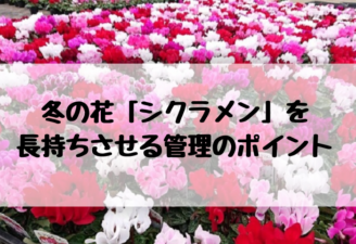 冬の花「シクラメン」を長持ちさせる管理のポイント