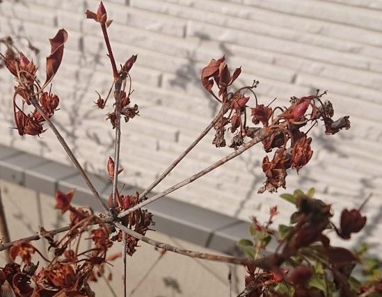 紅ドウダンツツジを種から育てる実験はじめます。 その1~ 種の採取 ~
