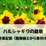 【農業】ハルシャギクの栽培・育て方 作業記録(路地植えから株分け)