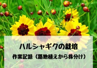 ハルシャギクの栽培・育て方 作業記録(路地植えから株分け)