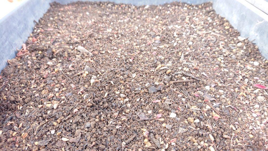 紅ドウダンツツジを種から栽培する 育てる 実験