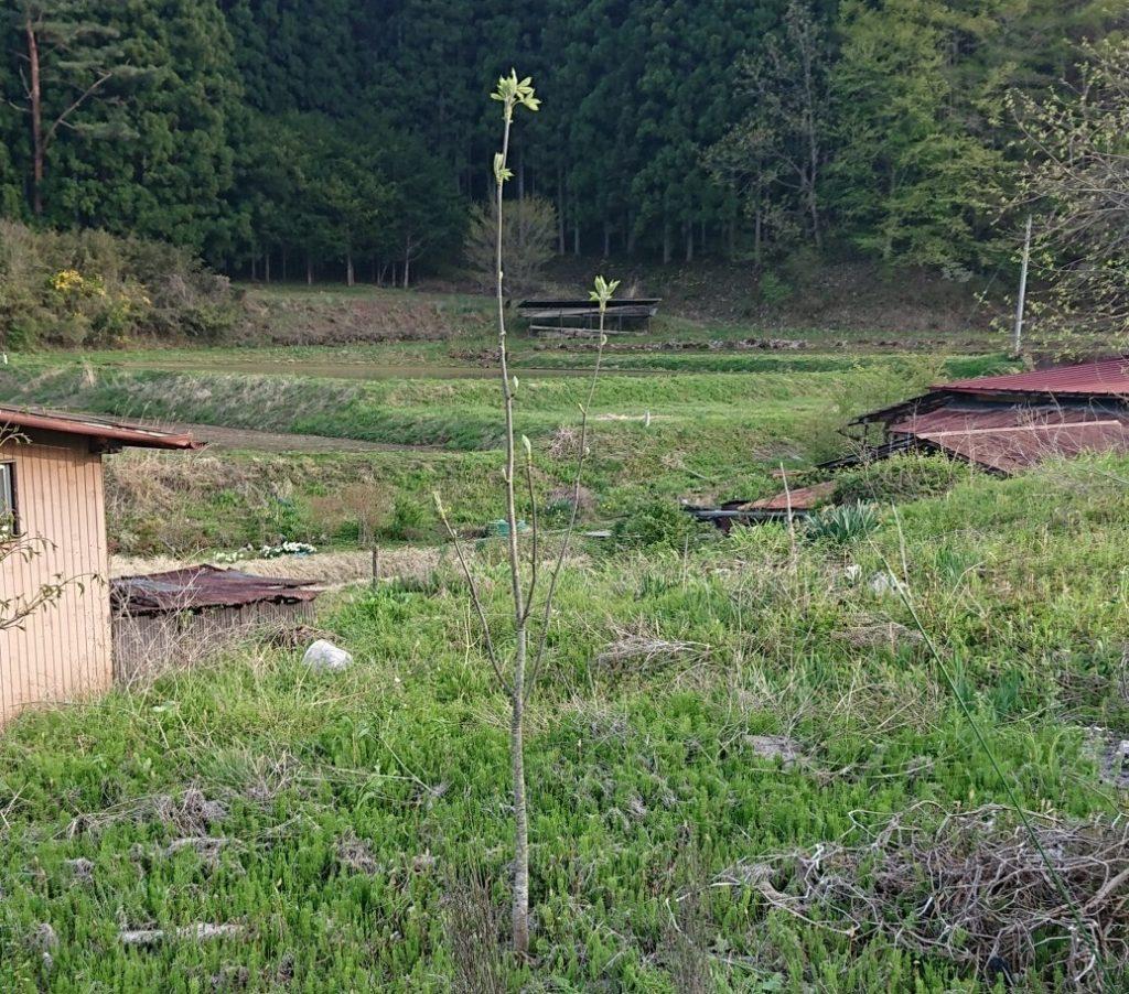 こしあぶら(漉油)の木を自宅近くに移植して試験栽培している話