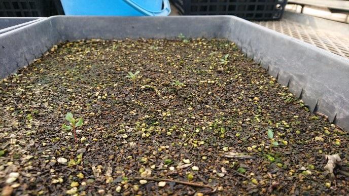 ドウダンツツジを種から育てる 栽培する
