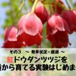 紅ドウダンツツジを種から育てる実験はじめます。 その3 ~ 発芽状況・経過 ~