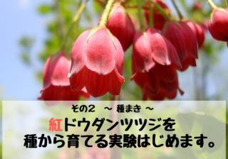 紅ドウダンツツジを種から栽培(育てる)する実験_2