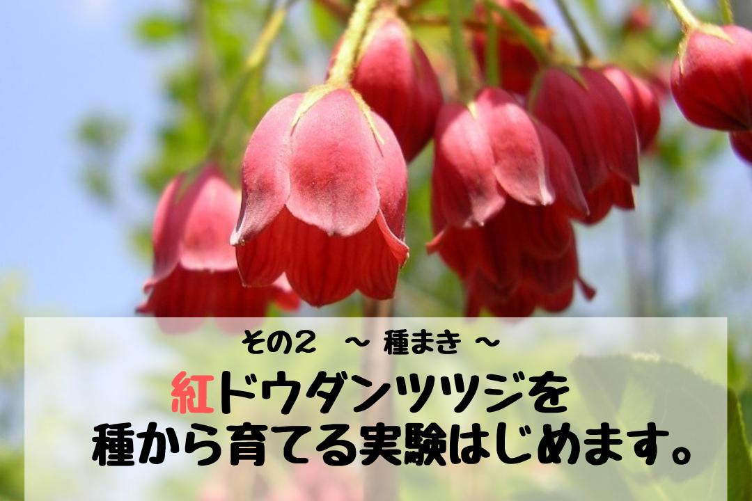 紅ドウダンツツジを種から育てる実験はじめます。 その2 ~ 種まき ~
