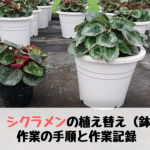【農業】シクラメンの植え替え(鉢上げ)の手順と作業記録