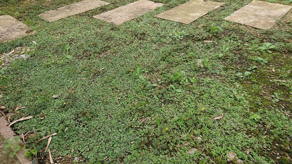 除草剤を使わず誰でも 簡単にゼニゴケを駆除する おすすめの対処方法