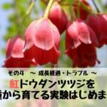 紅ドウダンツツジを種から育てる実験はじめます。 その4 ~ 成長経過・トラブル ~