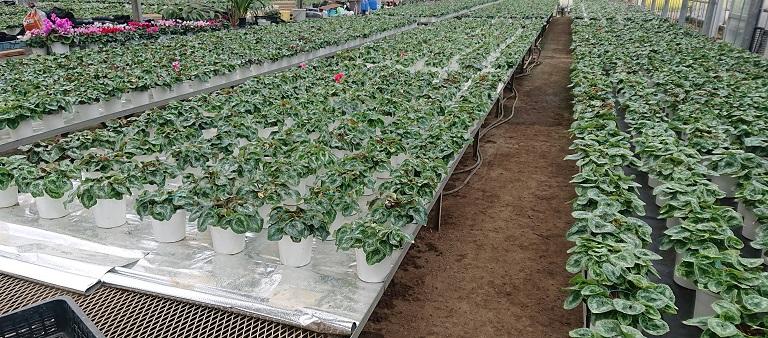 シクラメン-肥培管理
