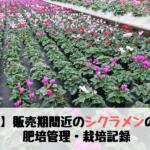 【農業】販売期間近のシクラメンの状況 ~肥培管理・成長記録~