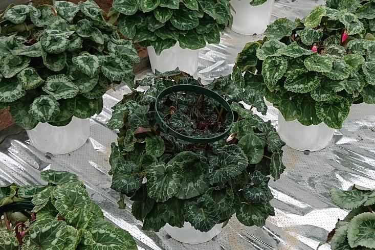 シクラメン-肥培管理-葉分け