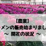 【農業】シクラメンの販売始まりました! ~開花の状況~