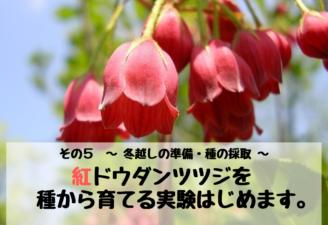 紅ドウダンツツジを種から育てる実験はじめます。その5