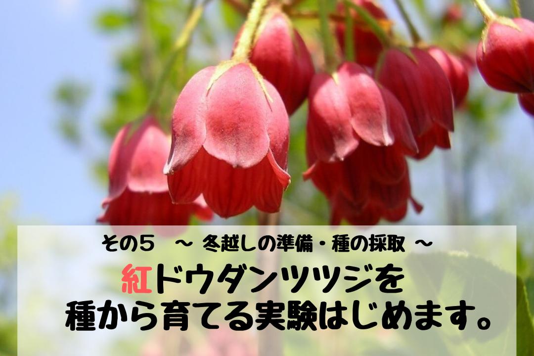 紅ドウダンツツジを種から育てる実験はじめます。 その5 ~ 冬越しの準備・種の採取 ~