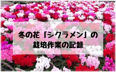 冬の花シクラメンの栽培作業記録