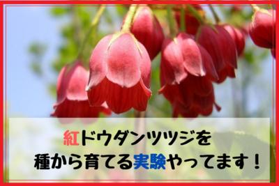 紅ドウダンツツジを種から増やして育てる実験